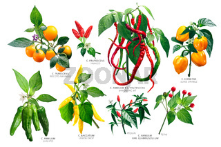 Capsicum peppers plants, paths