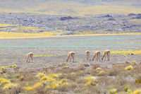Cile Atacama desert grazing guanacos