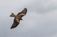 Yellow Billed Kite