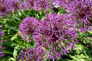 Flower head of Allium Purple Sensation Allium aflatunense in summer garden.