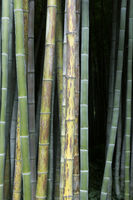 Fresh green and brown bamboo