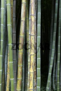 Frischer grüner und brauner Bambus