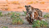 spotted hyena with a piece of a giraffe, Etosha National Park, Namibia, (Crocuta crocuta)