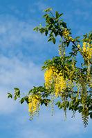 Laburnum tree in flower with pendulous yellow racernes