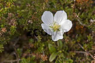 Blüte der Moltebeere