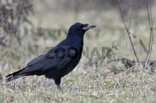 in typischer Umgebung... Saatkrähe * Corvus frugilegus * am Boden sitzend