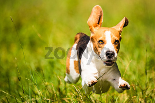 Beagle dog fun on field outdoors run and jump towards camera with ears in the air ant feet above ground.