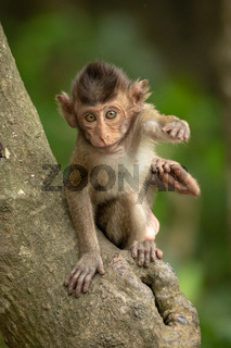Baby long-tailed macaque on branch reaching forwards