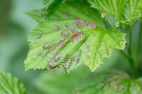 Damaged leaves from aphids