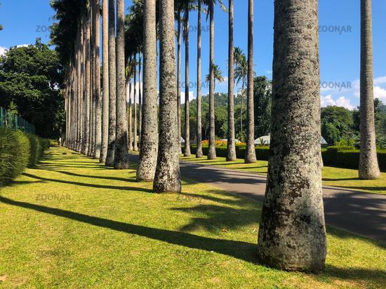 Palm tree alley in Royal Botanic King Gardens, Kandy, Sri Lanka.