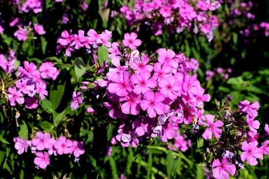 Phlox, phlox in full bloom