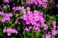 Phlox, phlox in full bloom