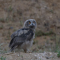 Eurasian Eagle Owl * Bubo bubo *, young chick, just fledged, at dusk