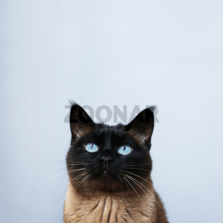 siamese cat looking up to copy space