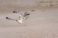 Arguing seagulls