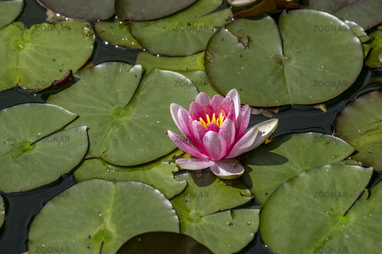 Water Lily (Nymphaea)