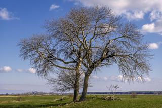 Insel Ummanz - Der Baum auf der Weide