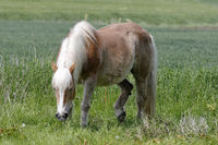 Haflinger in the pasture