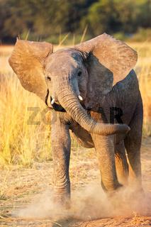 Angriffslustiger Elefant im South Luangwa Nationalpark, Sambia, (Loxodonta africana) |  angry Elephant at South Luangwa National Park, Zambia, (Loxodonta africana)