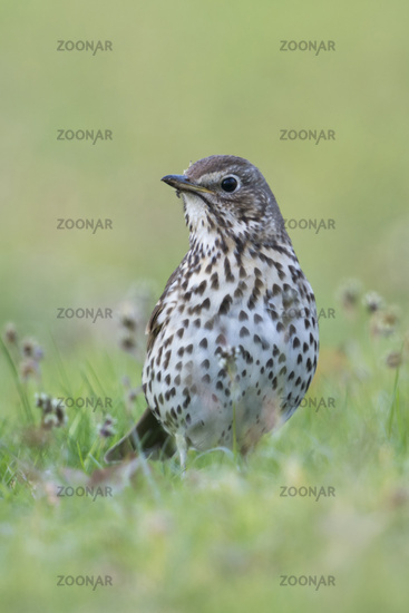Song Thrush * Turdus philomelos * sitting in grass