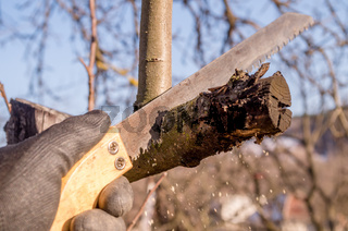 Pruning young fruit trees with a garden saw for branches.