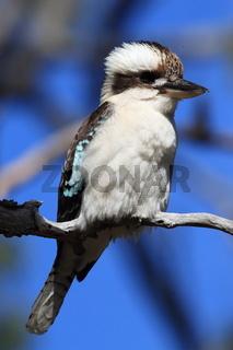aughing kookaburra (Dacelo novaeguineae) Queensland , Australia