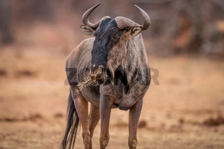 Blue wildebeest standing in the grass and eating.