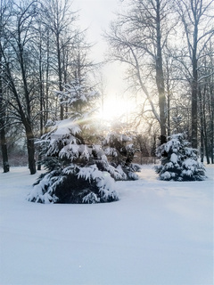 Frost and sun, wonderful day. In a winter park, a radiant sunbeam falls on a spruce covered with snow.