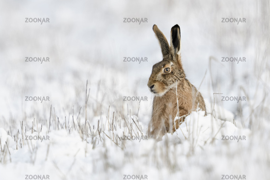 Brown Hare / European Hare * Lepus europaeus * in winter, sitting in snow, watching