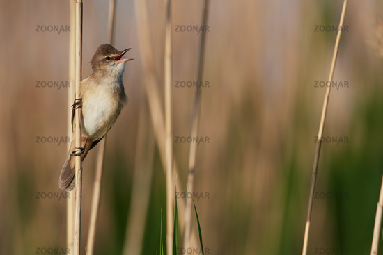 Great reed warbler in Hungary