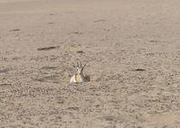 Arabian sand gazelle, Dubai, UAE