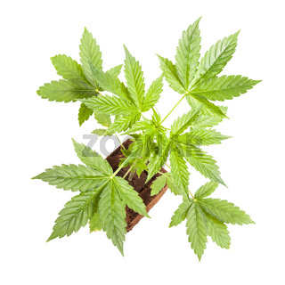 Cannabis sativa automatic autoflowering young plant isolated on white background. Medicine