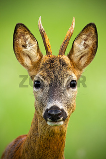 Portrait of cute roe deer, capreolus capreolus, buck in summer.