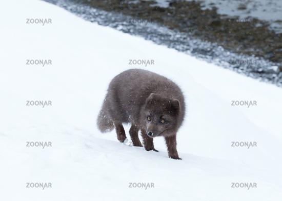 Blue morph arctic fox standing in snow