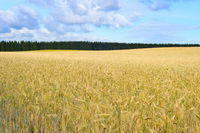 Wheet field harvest crop Estonia