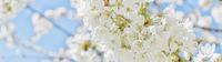Banner Kirschblüten pastell weiß blau