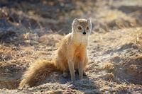 yellow mongoose, Etosha National Park, Namibia, (Cynictis penicillata)