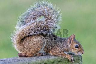 Wild Squirrel Poses for the Camera in Florida
