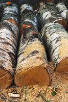 Sawn birch trees