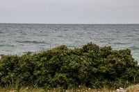 Briar roses bush beach
