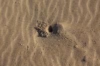 Crawl tracks of beach crabs on a sandy beach, Kaplica (greek Davlos)
