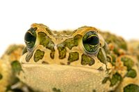 toad macro portrait