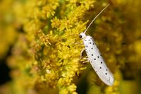Yponomeuta cagnagella on a goldenrod