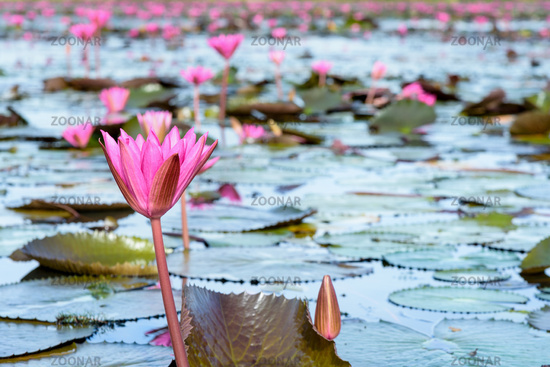 Red lotus flowers in the pond, Thailand