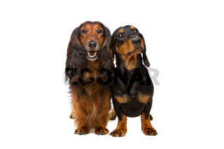 long haired and short haired dachshund