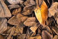 Pile of dry mango leaves