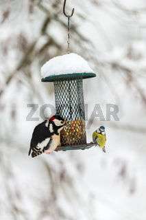 Great Spotted Woodpecker and blue tit at a bird feeder