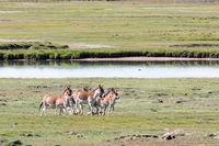 wild ass in three river source region