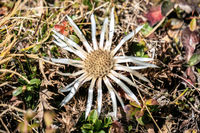 Close up of a single white Carline thistles (Carlina acaulis) blooming in the italian alps in autumn