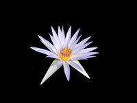 Blue Tropical Water Lily - Star of Siampa